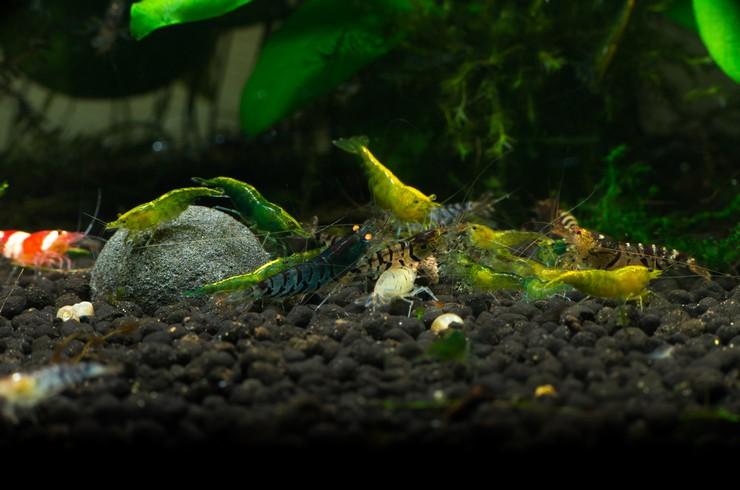 Креветки бабаулти хорошо уживаются с другими креветками