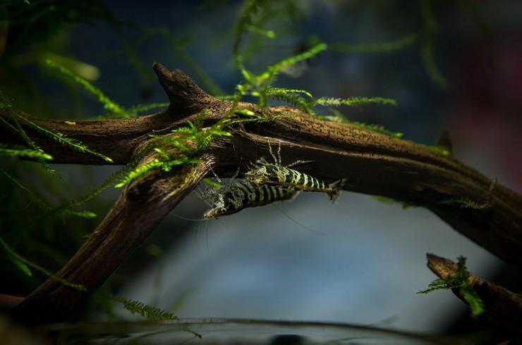 Натуральные коряги отлично впишутся в дизайн аквариума с креветками бабаулти