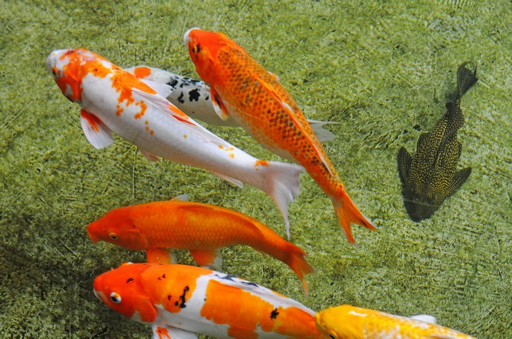 Немногие виды рыб можно поселить совместно с карпами кои