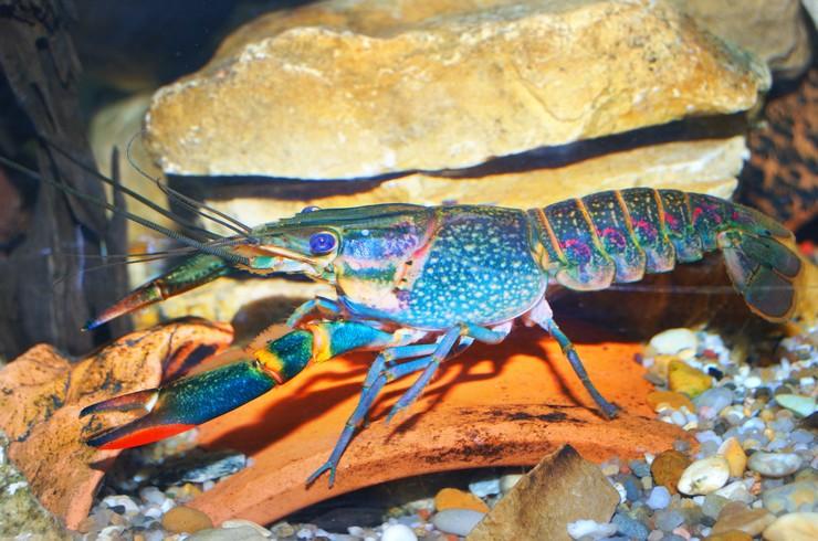 Разнообразные укрытия – обязательный элемент аквариума с австралийским красноклешневым раком