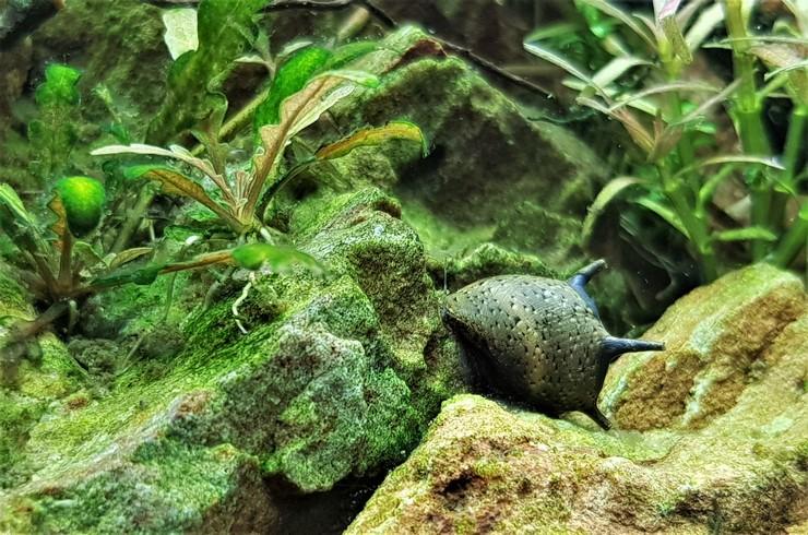 Рогатые улитки не вредят живым растениям