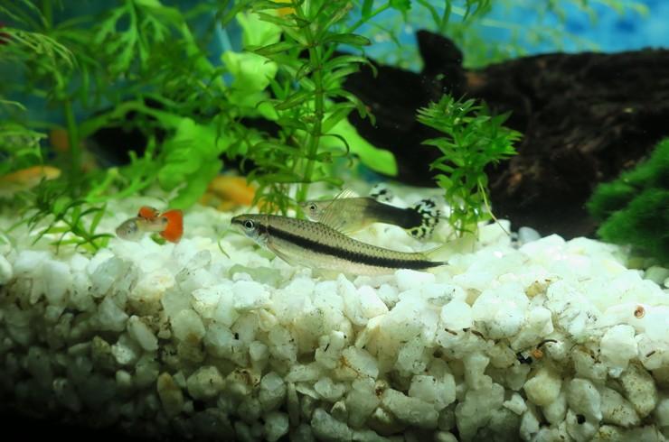 Сиамский водорослеед в общем аквариуме