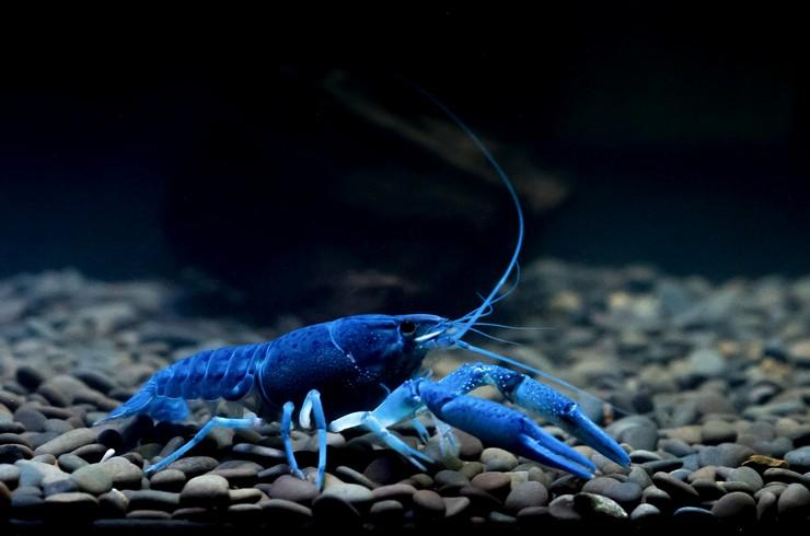 Синий флоридский рак в аквариуме