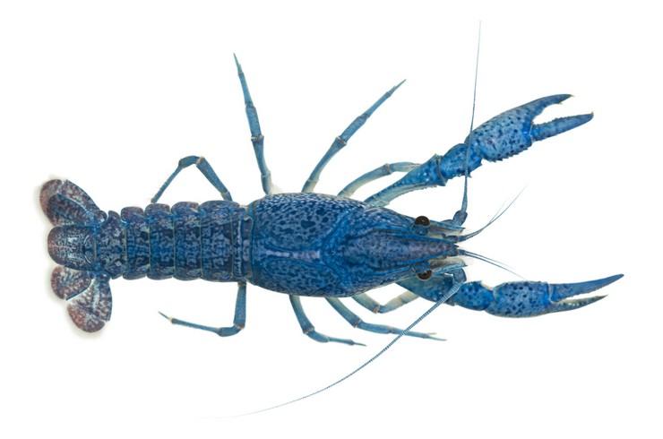 Синий флоридский рак. Внешний вид