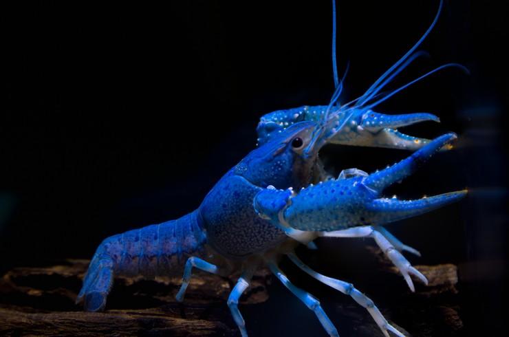 Синяя окраска рака получена в результате селекции