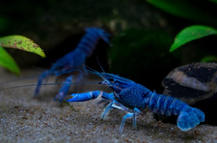 Содержать синих флоридских раков лучше парами