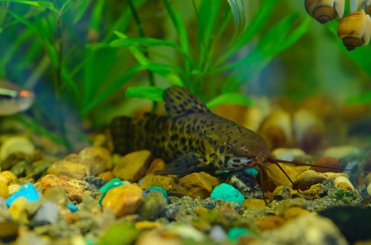 Сомик торакатум в аквариуме