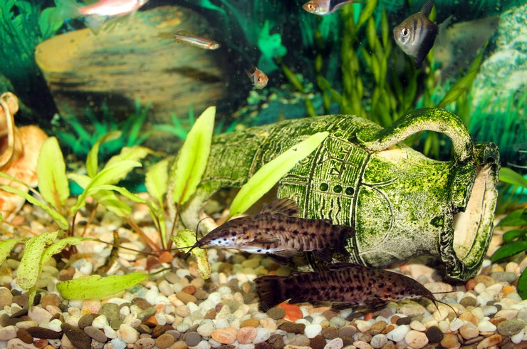 Торакатумы уживаются с многими аквариумными рыбками