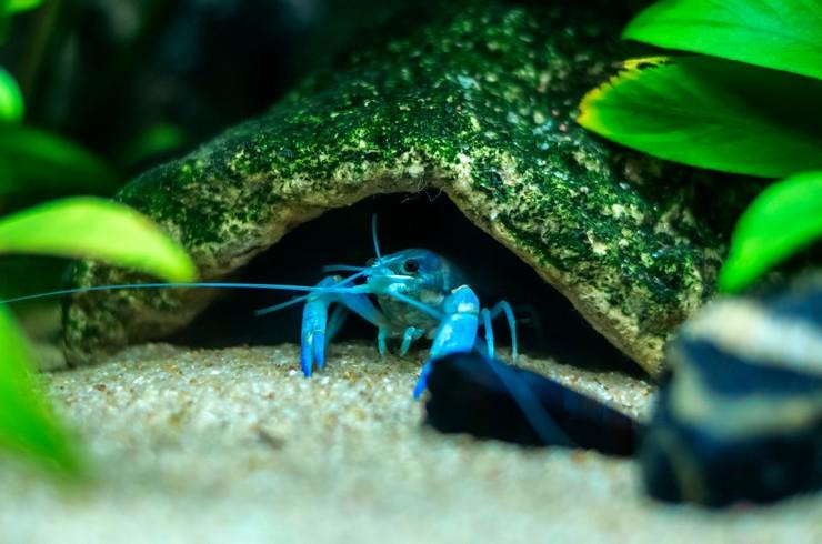 Убежища – важный элемент аквариума с раками