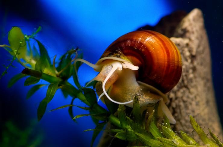 Улитки позволяют внести разнообразие в животный мир аквариума