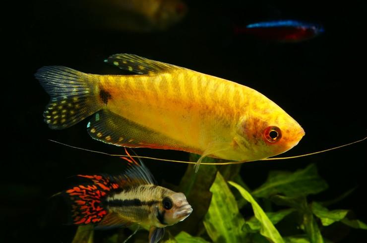 Апистограмма какаду в общем аквариуме