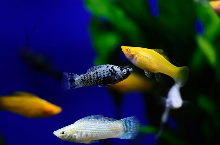 Белая моллинезия в общем аквариуме