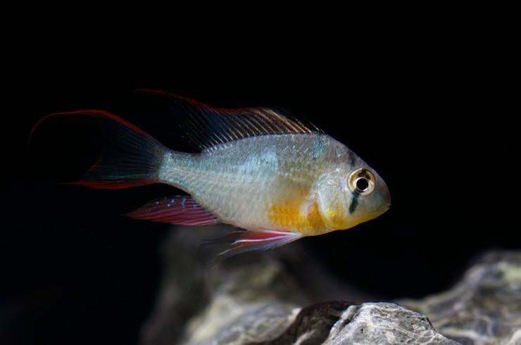 Боливийская бабочка – миролюбивая рыбка