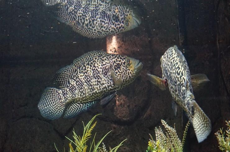 Для содержания манагуанских цихлазом понадобится аквариум от 450 литров