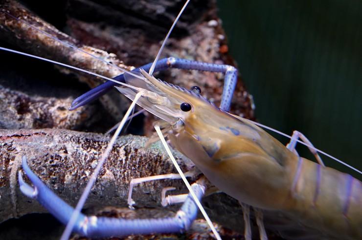 Креветки макробрахиумы могут охотиться на маленьких рыб и других водных обитателей