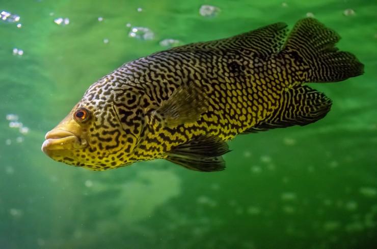 Манагуанская цихлазома – крупная, агрессивная и красивая рыбка