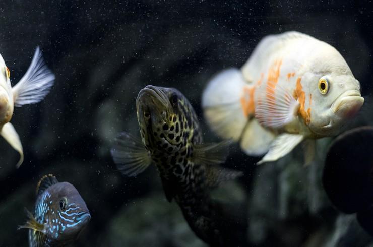 Манагуанская цихлазома в общем аквариуме