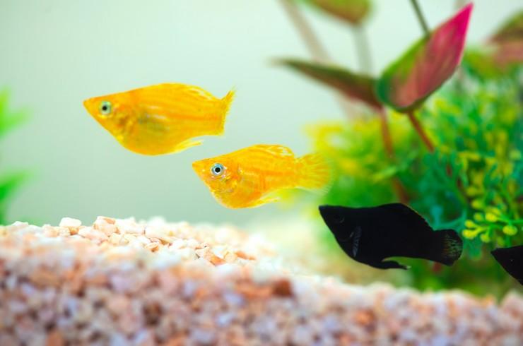 Моллинезии баллон в аквариуме