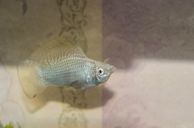 Моллинезия белая в аквариуме