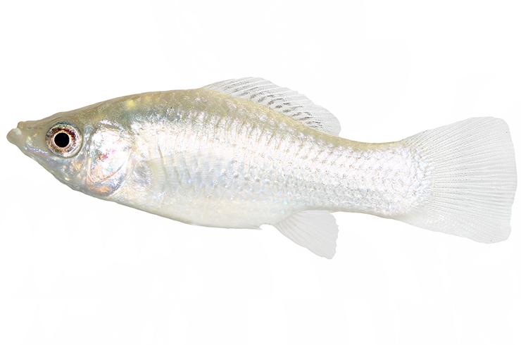 Моллинезия белая. Внешний вид