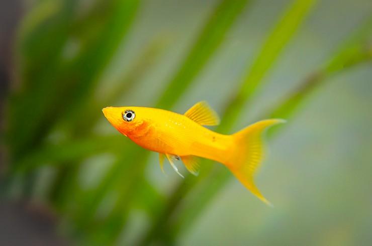 Моллинезия желтая в аквариуме