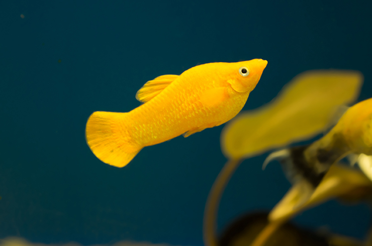 Моллинезия желтая. Внешний вид