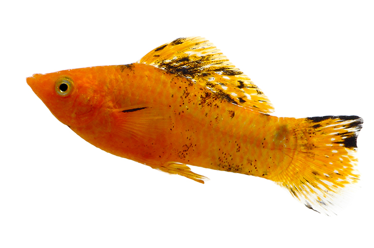 Самца моллинезии желтой легко отличить по анальному плавнику-гоноподию