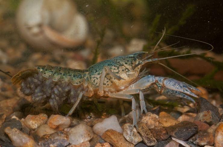 Самка вынашивает яйца и молодых рачков на плеоподах