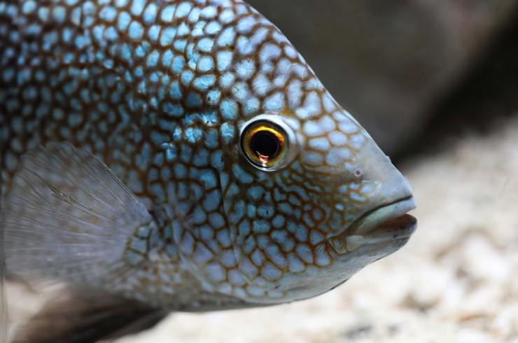 Ярко-голубые пятна – главное украшение бриллиантовой цихлазомы