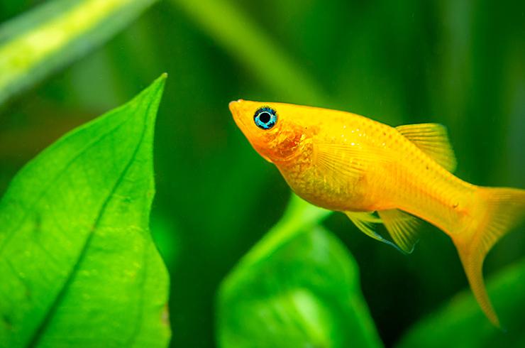 Желтые моллинезии хорошо уживаются с живыми растениями