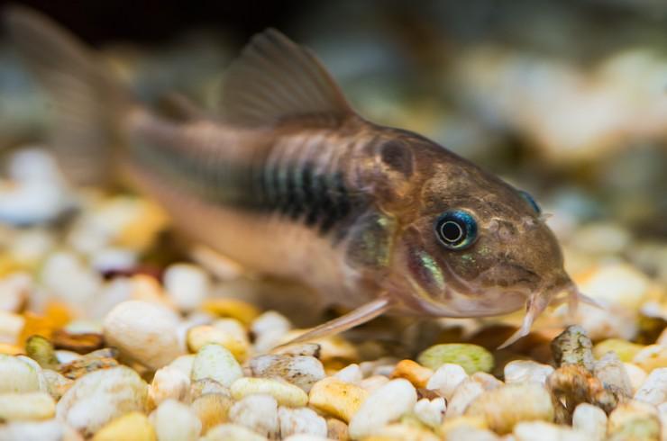 Золотистые коридорасы ищут пищу на дне аквариума
