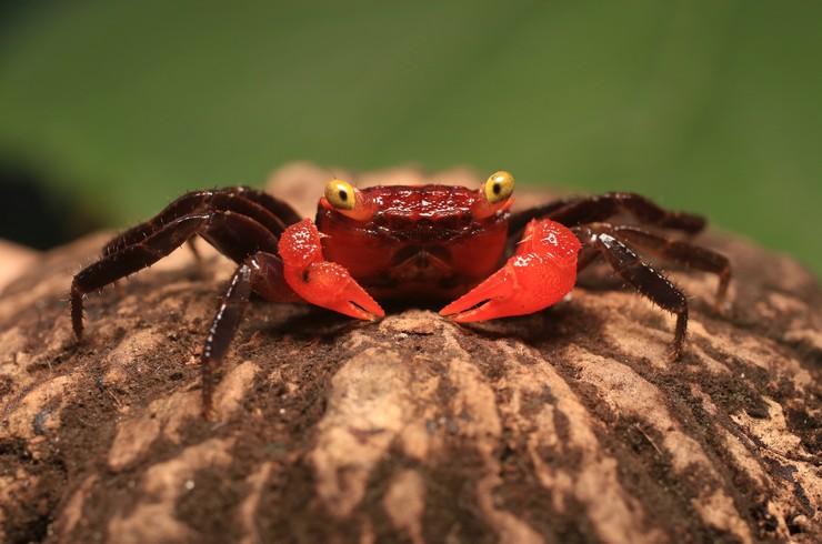 Краб Красный дьявол большую часть времени проводит на суше