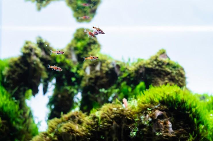 Микрорасборы – частые гости в акваскейпах