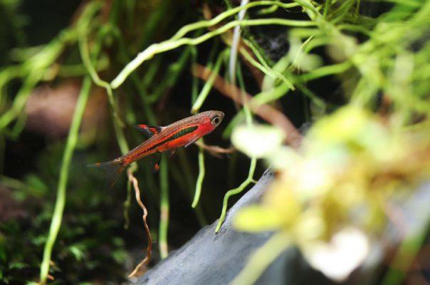 Микрорасборы – популярные рыбки для нано-аквариума