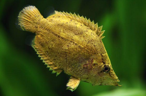 Рыба-лист – необычная аквариумная рыбка