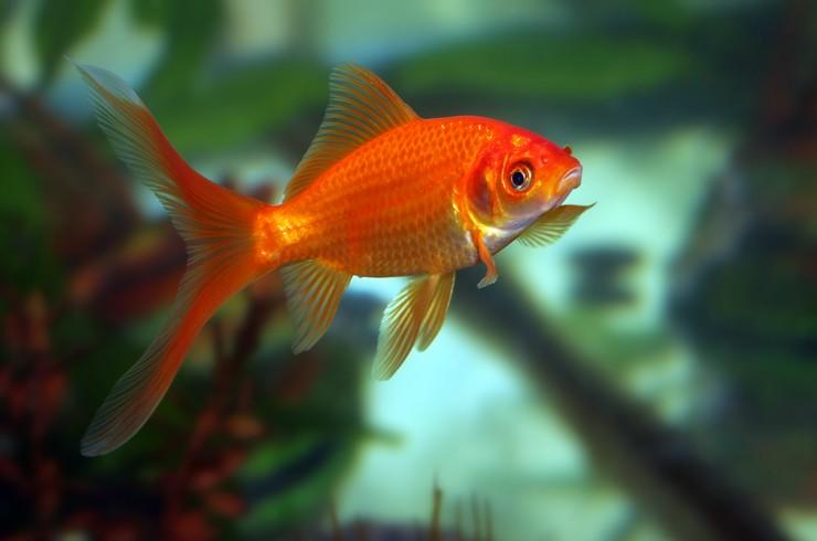 Комета золотая рыбка