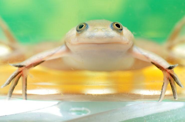Аквариумные лягушки – милые и забавные питомцы