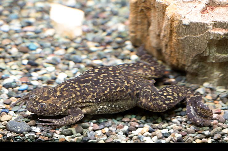 Аквариумные лягушки приспособлены к полностью водному образу жизни