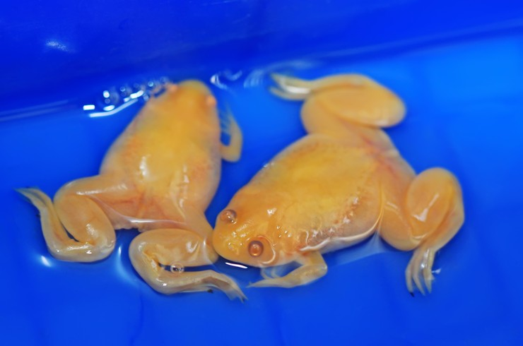 Альбиносная форма африканской шпорцевой лягушки