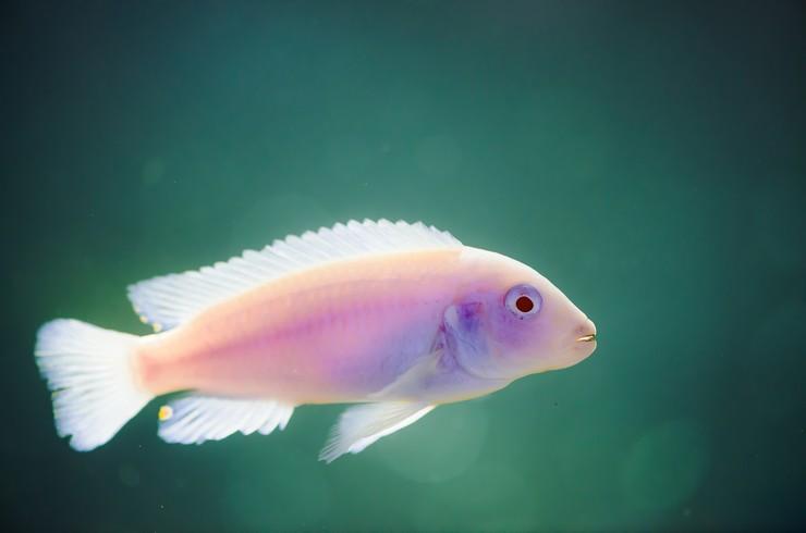 Белая рыбка без единой полоски – тоже псевдотрофеус зебра