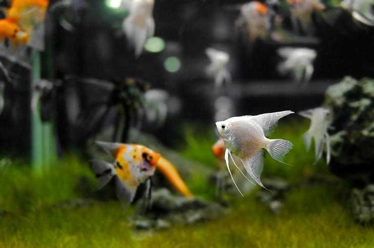 Белая скалярия в общем аквариуме