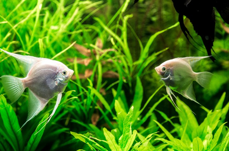 Белые скалярии могут размножаться в домашних условиях