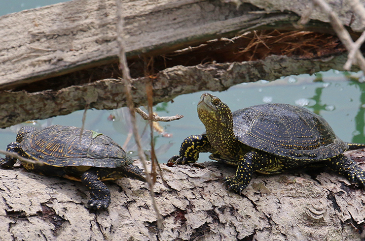 Болотные черепахи в естественной среде обитания
