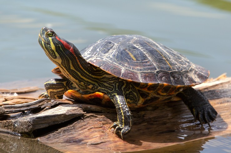 Черепахи – самые распространенные в аквариумистике водные рептилии