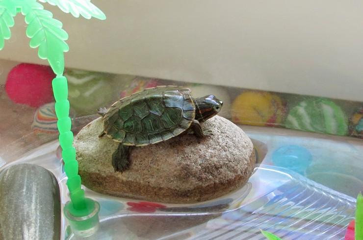 Черепахи, содержащиеся без УФ-лампы, часто болеют рахитом