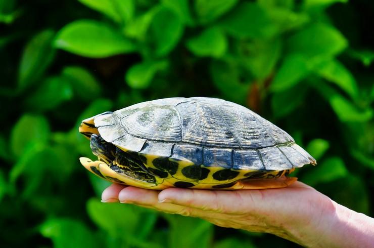 Черепахи умеют компактно складываться в панцирь