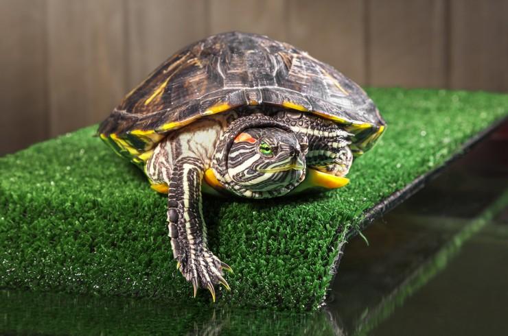 Для содержания красноухих черепах понадобится просторный террариум с островком суши