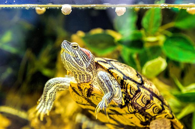 Качественные сухие корма – лучший выбор для красноухих черепах