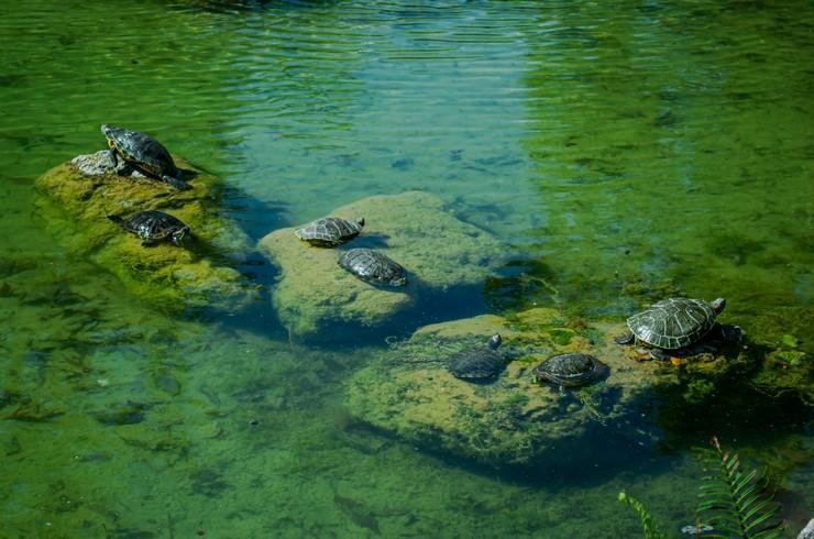 Колония красноухих черепах в естественном пруду