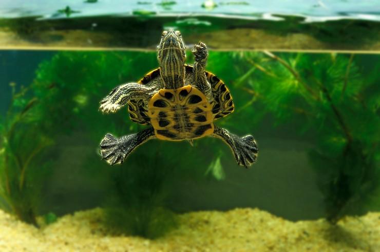 Красноухая черепаха в террариуме